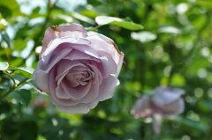 ★☆★ 【バラ苗】 つるブルームーン (Cl紫) 国産苗 大苗 6号鉢植え品 ★ 【つるバラ....