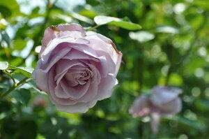即納【バラ苗】 つるブルームーン (Cl紫) 国産苗 大苗 6号鉢植え品 ☆ 【つるバラ.ツ...