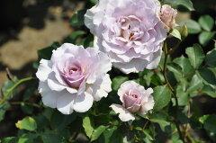 ◇【バラ苗】 ニューウェーブ (HT淡紫.) 国産苗 新苗 6号鉢植え品 ● 【四季咲き.木立....
