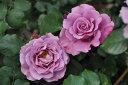 【バラ苗】 つるエンゼルフェイス (Cl紫色) 国産苗 新苗 6号角深鉢品 ● 【つるバラ....
