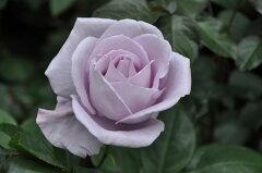 ◆◇◆ 【バラ苗】 ブルーバユー (FL紫色.) 国産苗 新苗 ● 【四季咲き.木立.中輪房咲き...