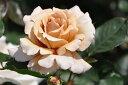 ※※※ 【バラ苗】 ジュリア (HT茶色) 国産苗 大苗 6号鉢植え品 ☆ 1月末までにお届け...
