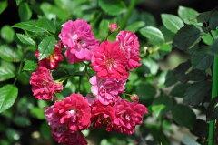 予約 【バラ苗】 スーパーエクセルサ (Cl赤色) 国産苗 大苗 6号鉢植え品 ☆ 【つるバラ....