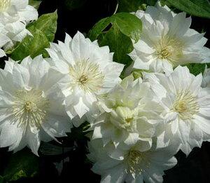 【クレマチス】 ダッチェスオブエジンバラ  (八重咲き大輪品種) 4.5号ロングポット苗 ★