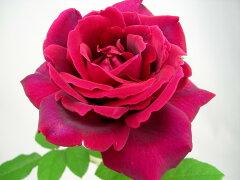 ◆◇◆ 【バラ苗】 クリムソングローリー (HT黒赤)  国産苗 新苗 ● 【四季咲き.木立.大...