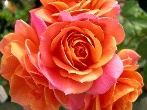 ※※※ 【バラ苗】 ディズニーランドローズ (FL複橙) 国産苗 大苗 6号鉢植え品 ★ ※2月...