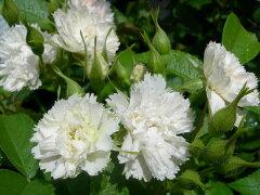 ◇【バラ苗】 ホワイトグルーテンドルスト (HRg白)  国産苗 新苗 6号鉢植え品 ● 【オー...