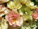 ◇【バラ苗】 グリーンスリーブス (FL複桃緑)  国産苗 新苗 6号鉢植え品 ● 【四季咲き....