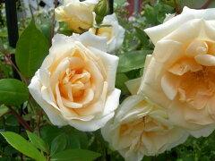 ◇【バラ苗】 レディヒリンドン (T黄色) 国産苗 新苗 6号鉢植え品 ● 【オールドローズ...