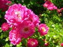 ◇【バラ苗】 ハッピートレイルズ (Min濃桃) 国産苗 新苗 6号鉢植え品 ● 【ミニバラ】