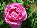 即納 【バラ苗】 ミセスジョンレイン (HP桃色)国産苗 中苗 6号鉢植え品 ●【オールドローズ....