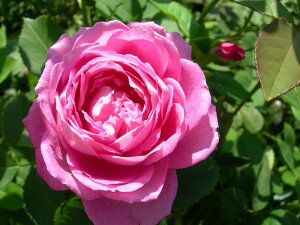 ◆◇◆【バラ苗】 ミセスジョンレイン (HP桃色) 国産苗 新苗 ● 【オールドローズ.ハイ...