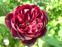 即納 【バラ苗】 フランシスデュブリュイ (T黒紅) 国産苗 大苗 6号鉢植え品…