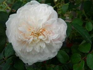 予約 【バラ苗】 ソンブロイユ (ClT白色) 国産苗 新苗 ● 【つるバラ.ツルバラ.つるばら...