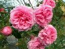 ◆◇◆【バラ苗】 ホーム&ガーデン (Ant桃)  国産苗 新苗 ● 【アンティークタッチのバ...