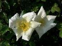 ◇【バラ苗】 ロサギガンティア (Sp白) 国産苗 新苗 6号鉢植え品 ● 【オールドローズ....