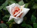 ※※※ 【バラ苗】 ペルルドール (Pol杏)  国産苗 大苗 6号鉢植え品 ☆ 1月末までに...