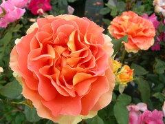 即納 【バラ苗】 ブラスバンド (FL橙色) 国産苗 大苗 6号鉢植え品 ★ 【四季咲き.木立…