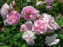 ◇【バラ苗】 ラベンダーラッシー (HMsk桃色) 国産苗 新苗 6号鉢植え品 ● 【オールドロ...