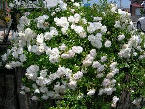 【バラ苗】 スノーシャワー (Min白色) 国産苗 新苗 5号鉢植え品 ○ 【ミニバラ】