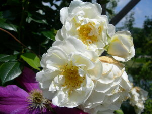 ★☆★ 【バラ苗】 シティオブヨーク (Cl白) 国産苗 大苗 6号鉢植え品 ★ 【つるバラ....