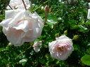 ◇【バラ苗】 アウェイクニング (Cl桃) 国産苗 新苗 6号鉢植え品 ● 【つるバラ.ツルバ...