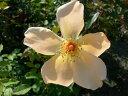 ◇【バラ苗】 ミセスオークリーフィッシャー (HT淡橙) 国産苗 新苗 6号鉢植え品 ● 【...