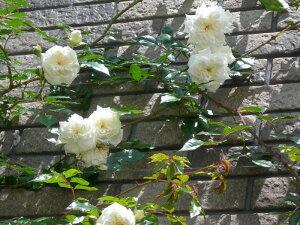 【バラ苗】 アルベリックバルビエ (R白色) 国産苗 大苗 6号鉢植え品 ☆ 【オールドロー...