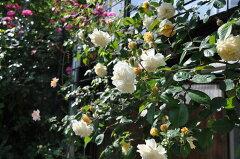◇【バラ苗】 バフビューティー (HMsk橙) 国産苗 新苗 6号鉢植え品 ● 【オールドローズ...