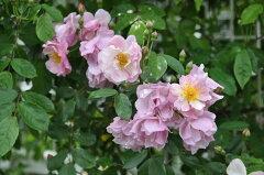 ◇【バラ苗】 コーネリア (HMsk薄桃色) 国産苗 新苗 6号鉢植え品 ● 【オールドローズ....