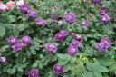 ◇【バラ苗】 カーディナルドゥリシュリュー (G紫色) 国産苗 新苗 6号鉢植え品 ● 【オ...
