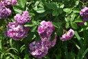 予約 【バラ苗】 ローズマリーヴィオード (R紫) 国産苗 新苗 ● 【オールドローズ.ランブ...