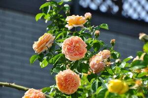 ◆◇◆【バラ苗】 アルキミスト (Sh橙) 国産苗 新苗 ● 【シュラブ.半つるバラ.半ツルバ...