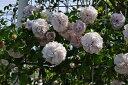 ◇【バラ苗】 アシュウェンズディ (Cl紫) 国産苗 新苗 6号鉢植え品 ● 【つるバラ.ツ...