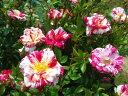 ◇【バラ苗】 スターザンストライプス (Sh絞赤) 国産苗 新苗 6号鉢植え品 ● 【ミニバ...