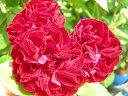 ◇【バラ苗】 レッドピノキオ (FL赤色) 国産苗 新苗 6号鉢植え品 ● 【四季咲き.木立....