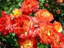 ◇【バラ苗】 ルンバ (FL複橙) 国産苗 新苗 6号鉢植え品 ● 【四季咲き.木立.中輪房咲...