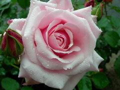 ◆◇◆【バラ苗】 レディマリーフィッツウィリアム (HT桃色)  国産苗 新苗 ● 【四季咲き...