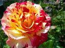 ※※※【バラ苗】 モーリスユトリロ (Del絞) 国産苗 新苗 ○※5月末までにお届けの予約...