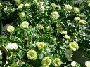 ◇【バラ苗】 グリーンアイス (Min複白緑) 国産苗 新苗 6号鉢植え品 ● 【ミニバラ】