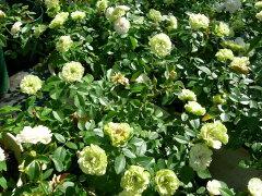 ◆◇◆【バラ苗】 グリーンアイス (Min複白緑) 国産苗 新苗 ● 【ミニバラ】 ※6月上旬...
