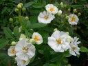 ◇【バラ苗】 イヴォンヌラビエ (Pol白) 国産苗 新苗 6号鉢植え品 ● 【オールドローズ....