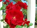 ◇【バラ苗】 イングリッドウェイブル (FL赤色) 国産苗 新苗 6号鉢植え品 ● 【四季咲...