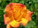 ◎即納【バラ苗】リオサンバ (HT覆橙) 国産苗 新苗 6号鉢植え品 ○ 《J-HT10》