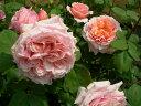 即納 【バラ苗】 ポールボキューズ (Gen杏桃) 国産苗 中苗 6号鉢植え品 ● 【ギヨー】