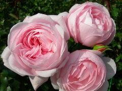 【バラ苗】 ナエマ (Del桃) 国産苗 新苗 5号鉢植え品 ○ 【デルバール】