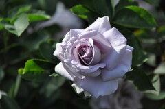 ※※※ 【バラ苗】 すみれの丘 (CL青紫) 国産苗 新苗 ○ 【つるバラ.ツルバラ.つるばら...