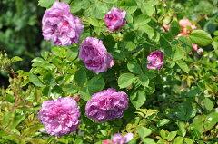 ◇【バラ苗】 レーヌデヴァイオレット (HP赤紫) 国産苗 新苗 6号鉢植え品 ● 【オール...