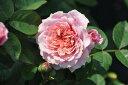 【バラ苗】 ウィリアムクリスティ (Gen薄桃) 国産苗 大苗 6号鉢植え品 ☆ 【ギヨー】