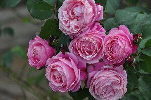 【バラ苗】 シャンテロゼミサト (Del桃) 国産苗 新苗 5号鉢植え品 ○ 【デルバール】